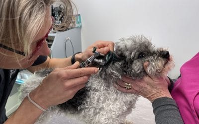 My dog is shaking its head – does he have an ear infection?