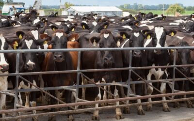 Cows feeling the pressure?