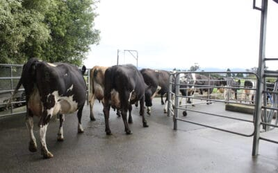Could knowing your cows' lameness score help production