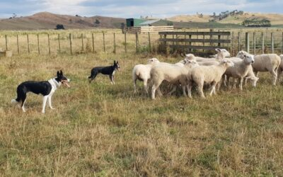 Fleas, ticks and your working dog