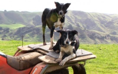 Working dogs vs grass seeds