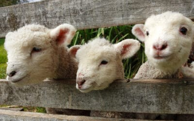 Should I vaccinate my ewes for Toxo and Campy?