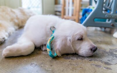 Parvo in dogs – What you need to know